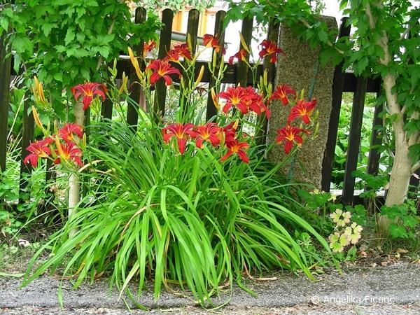 Rote Taglilie, Habitus