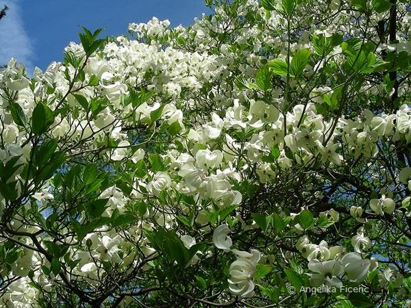 """Cornus florida """"Alba"""", Habitus"""