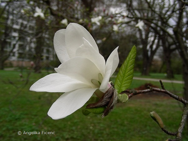 Magnolia cf. kobus - Kobushi Magnolie,Blüte