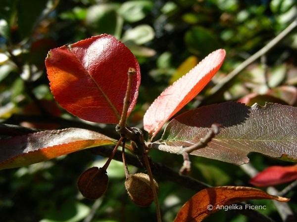Aronia arbutifolia, Zweig mit Laubblättern