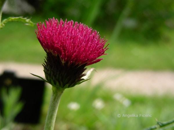 """Cirsium rivulare """"Atropurpureum"""" - Bachkratzdistel, Blüte Seitenansicht  © Mag. Angelika Ficenc"""