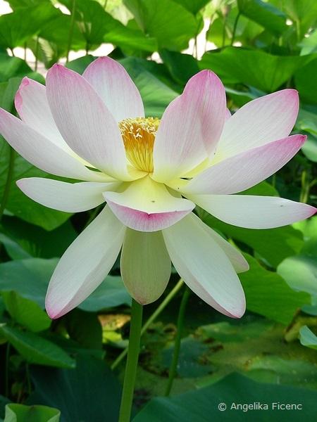 Nelumbo nucifera - Indische Lotusblume, Blüte in Seitenansicht