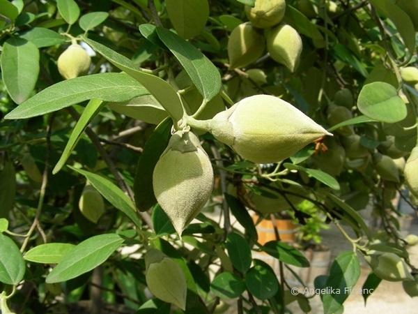 Lagunaria patersonica - Norfolkeibisch  © Mag. Angelika Ficenc