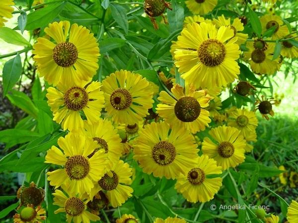 Helenium autumnale - Gewöhnliche Sonnenbraut  © Mag. Angelika Ficenc