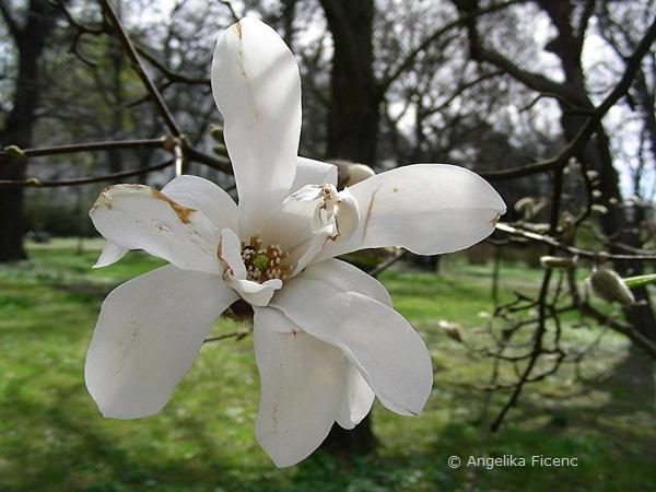 Magnolia cf. kobus - Kobushi Magnolie, Blüte