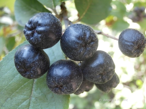 Aronia arbutifolia, reife Früchte