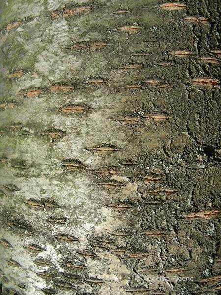 Prunus avium - Große Germersdorfer
