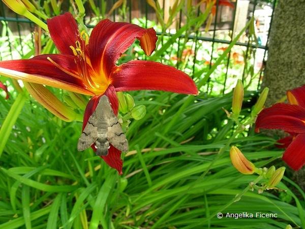 Rote Taglilie mit taubenschwänzchen