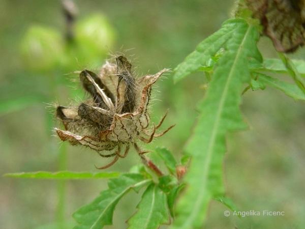 Hibiscus trionum, reife aufgesprungene Kapselfrucht