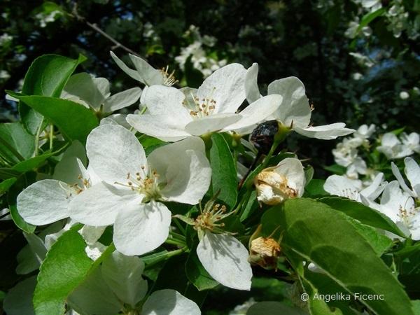 Malus baccata - Beerenapfel, Blüten
