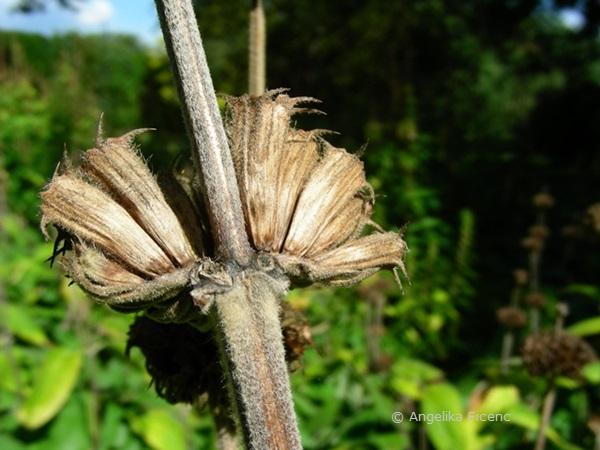 Phlomis russeliana, Samenstand