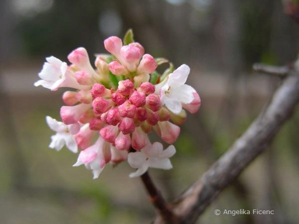 Viburnum farreri, Blütenstand mit Knospen