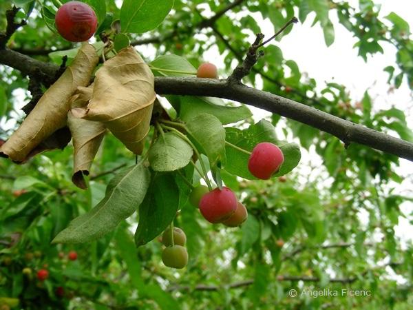 Malus baccata - Beerenapfel, Früchte