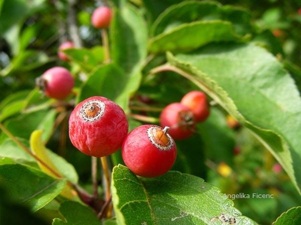 Malus baccata - Beerenapfel, reife Früchte