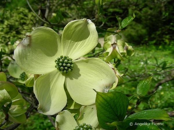 """Cornus florida """"Alba"""", Hochblätter und Blüten"""