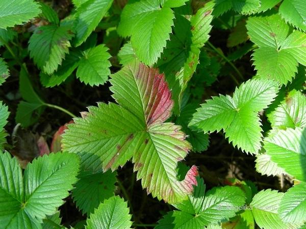 Frigaria viridis - Knackerdbeere