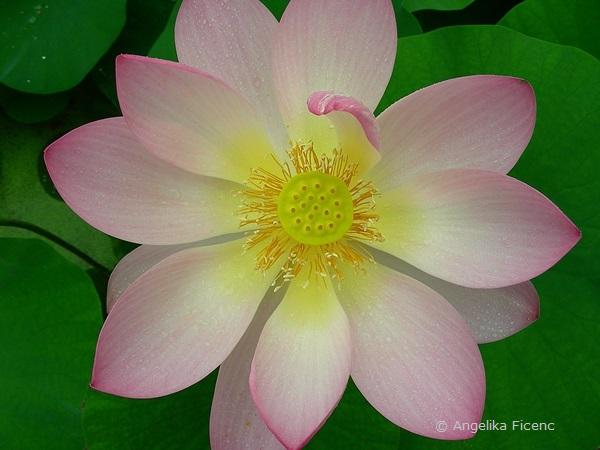 Nelumbo nucifera - Indische Lotusblume, Blüte in Aufsicht, Fruchtknoten im Zentrum