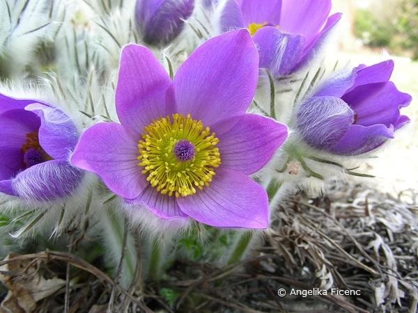 Pulsatilla grandis - Große Küchenschelle, Blüte
