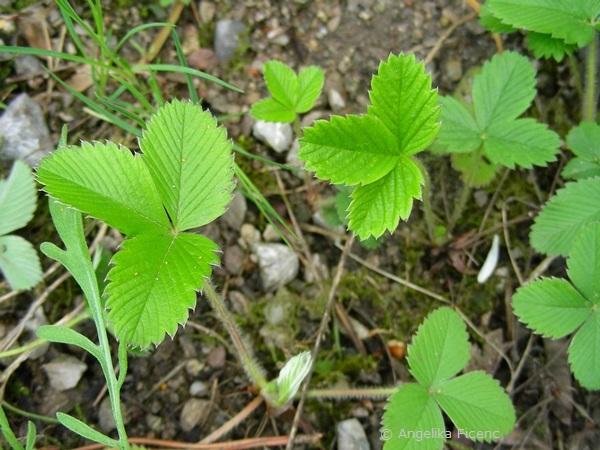 Frigaria viridis - Knackerdbeere  © Mag. Angelika Ficenc