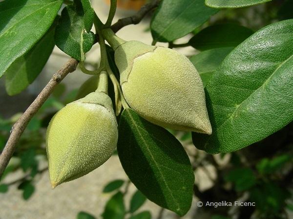 Lagunaria patersonica - Norfolkeibisch