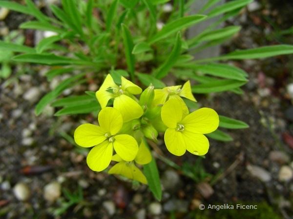 Erysium yugicola - Piemonteser Schöterich