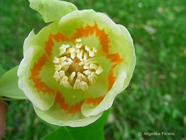 Liriodendron tulipifera, Tulpenbaum, Blüte in Aufsicht