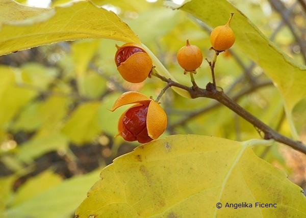 Celastrus orbiculatus var. orbiculatus, Rundblättriger Baumwürger, Fam. Celastraceae, Früchte