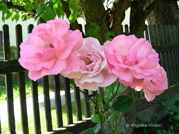 "Rose ""Queen Elisabeth"""