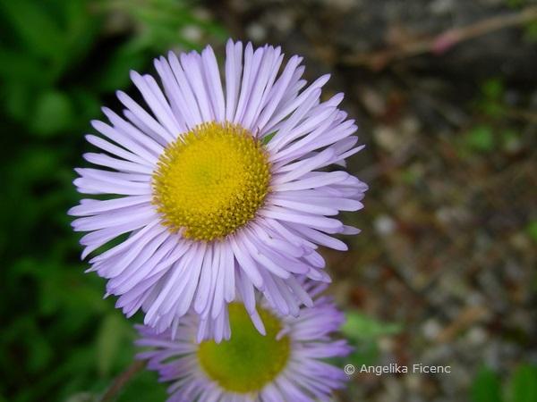 Erigeron glabellus - Glattes Berufkraut, Blüte