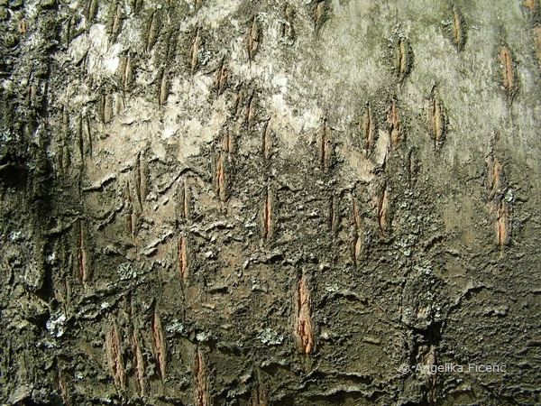 Prunus avium - Große Germersdorfer  © Mag. Angelika Ficenc