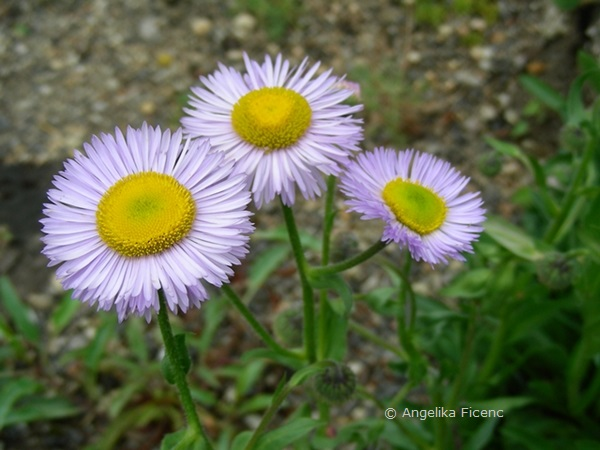 Erigeron glabellus - Glattes Berufkraut  © Mag. Angelika Ficenc