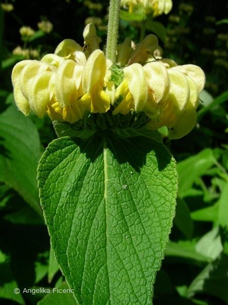 Phlomis russeliana, Scheinquirl und Blatt