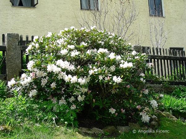 Rhododendron, weiß blühend