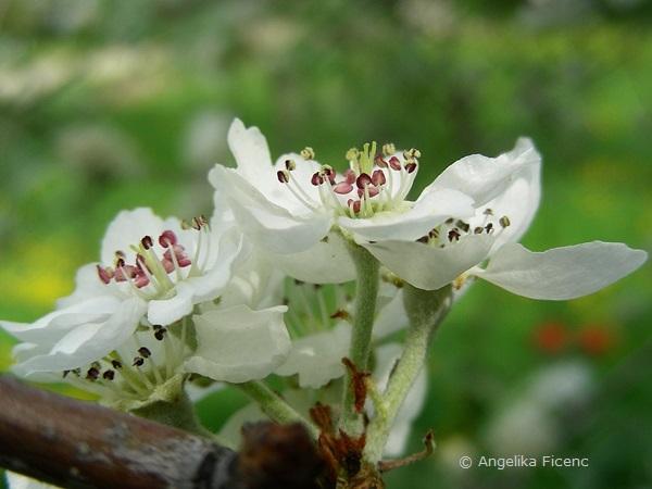 Pyrus salicifolia - Weidenbirne, Blüten Seitenansicht