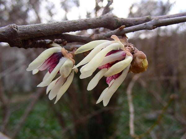 Chimonanthus praecox - Winterblüte  © Mag. Angelika Ficenc
