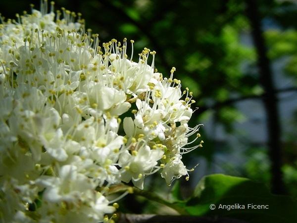 Viburnum lentago - Kanadischer Schneeball, Blütenstand