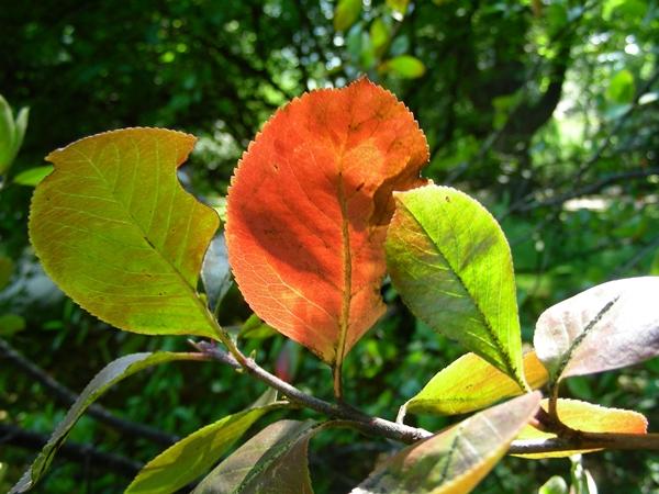 Aronia arbutifolia,Laubblatt Herbstfärbung