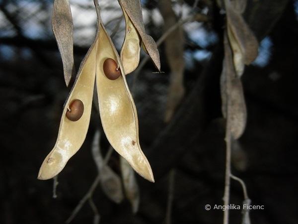 Laburnum anagyroides - Goldregen, Frucht mit Samen   © Mag. Angelika Ficenc