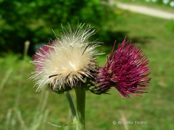"Cirsium rivulare ""Atropurpureum"" - Bachkratzdistel, beginnende Samenreife"