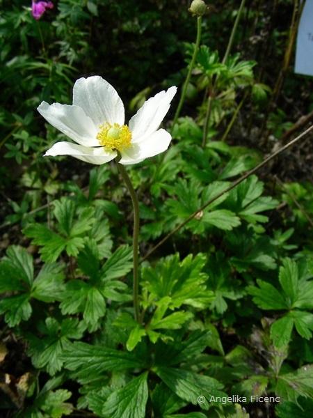 Anemone sylvestris - Großes Windröschen, Habitus