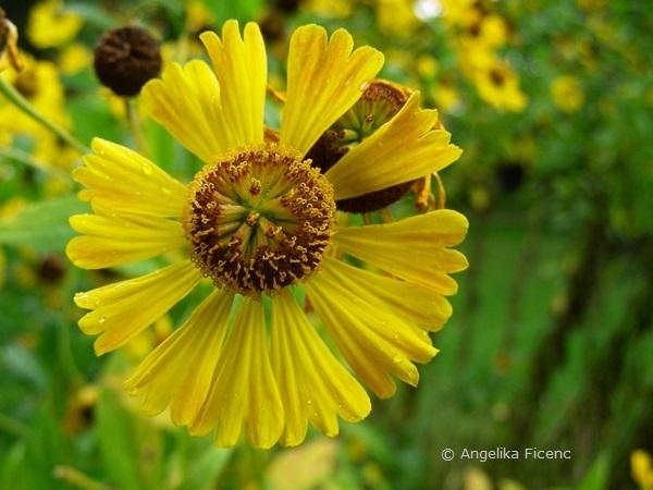 Helenium autumnale - Gewöhnliche Sonnenbraut, Blüte, Aufsicht