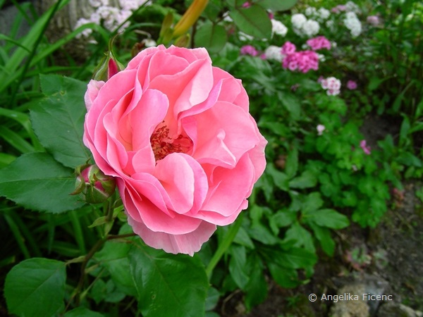 "Rose ""Queen Elisabeth"""