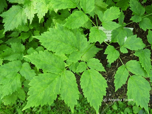 Actaea asiatica - Christofskraut, Blätter   © Mag. Angelika Ficenc