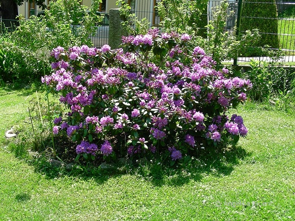 Rhododendron, Habitus