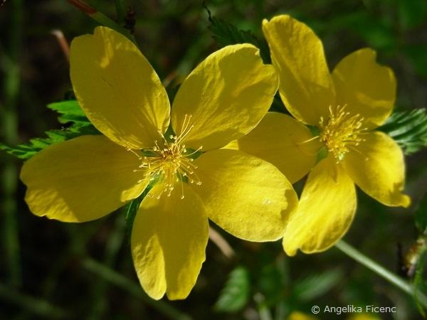 Kerria japonica - Ranunkelstrauch  © Mag. Angelika Ficenc