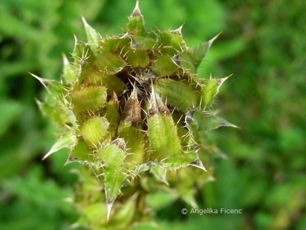 Berkheya purpurea, Knospe  © Mag. Angelika Ficenc