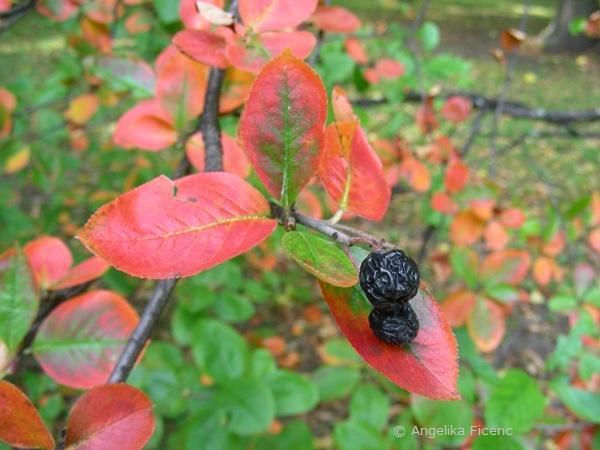 Aronia arbutifolia, vertrocknete Früchte