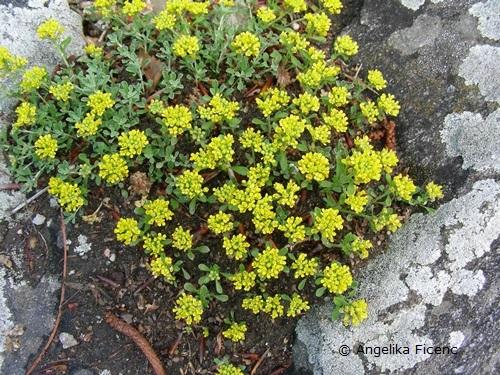 Alyssum alpestre - Alpensteinkraut