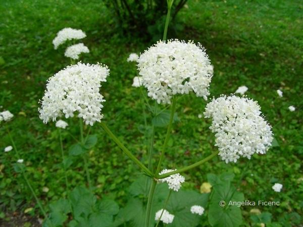Valeriana aniariifloria - Kaukasus Baldrian