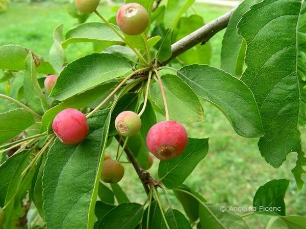 Malus baccata - Beerenapfel, Früchte  © Mag. Angelika Ficenc